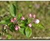 Vign_2014-0413-pommes-0581